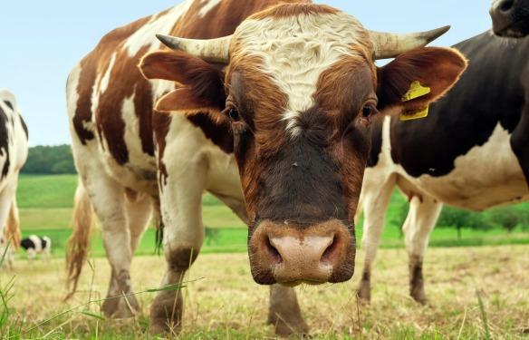 cow, bull, bullshit